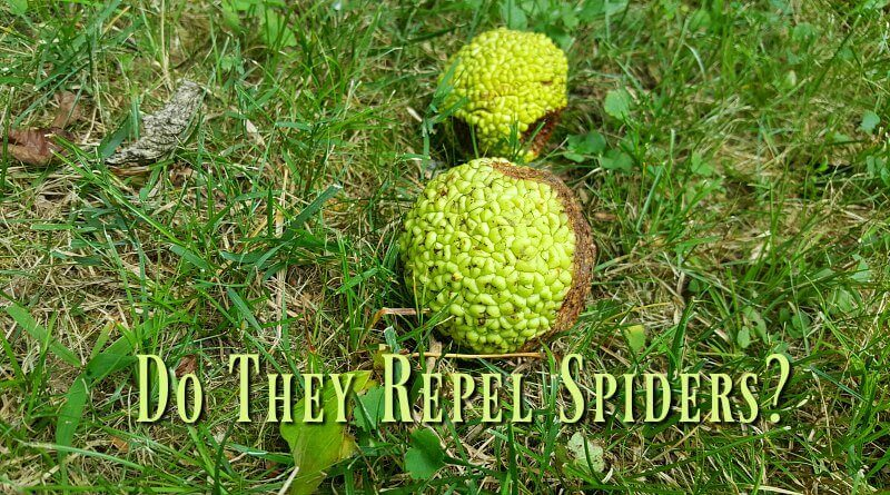 Osage orange - monkey brains. Do they repel spiders