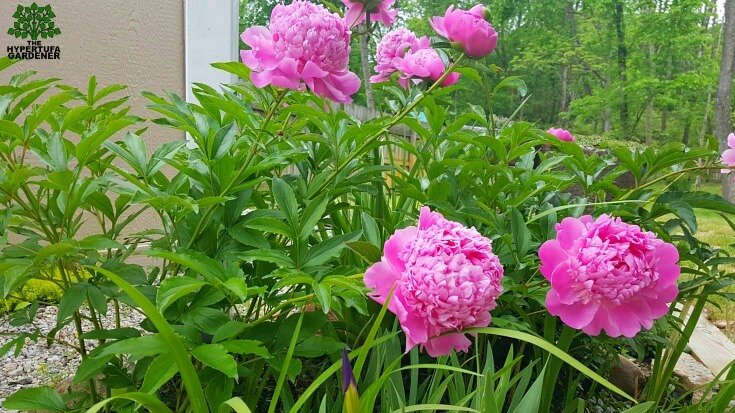 Peony in spring 2016 - blooms alongs with Indigo Plant