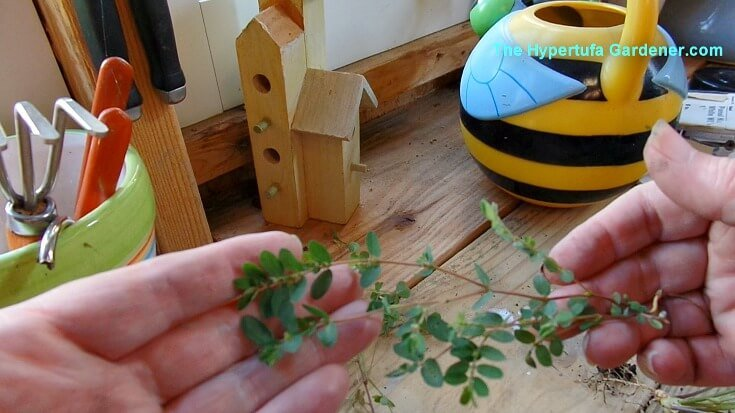 Prostrate spurge - removing weeds from hypertufa planters