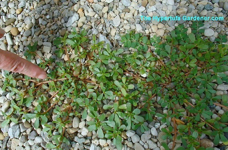 Purslane - removing weeds from your garden path