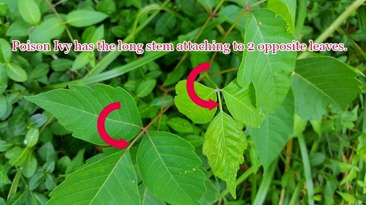 Recognize poison ivy