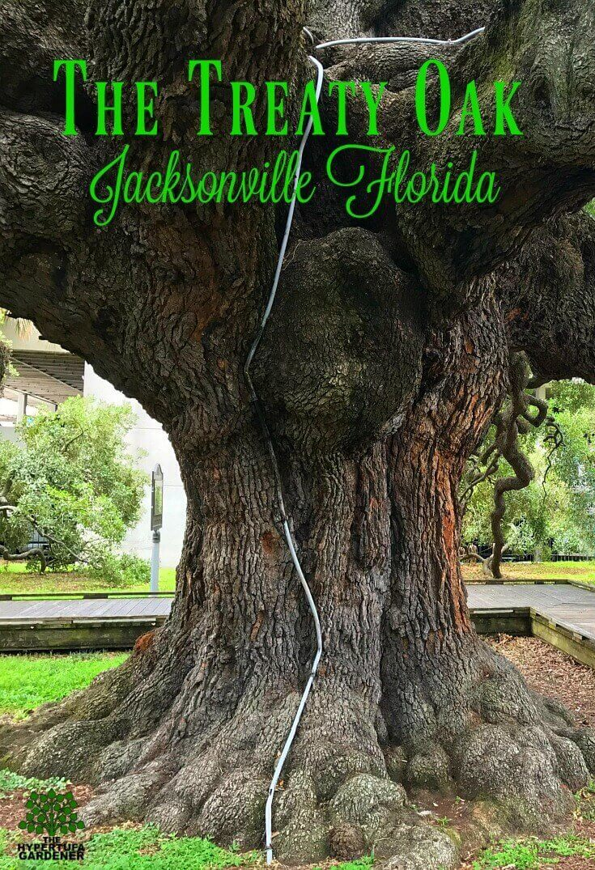 The Treaty Oak in Jacksonville Florida