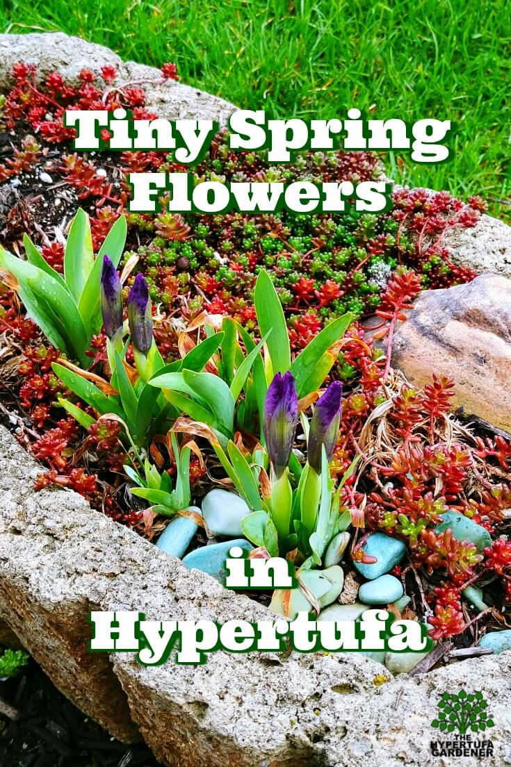 image of spring bulbs blooming in hypertufa pot