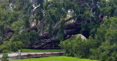 Treaty Oak in Jacksonville FL