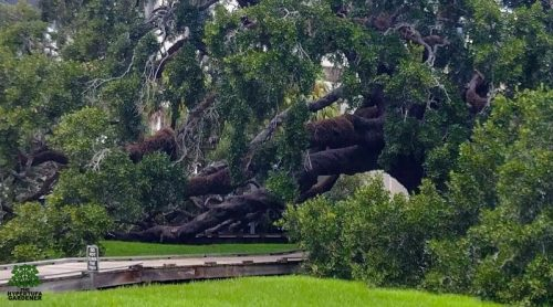 The Sprawling Treaty Oak in Jacksonville FL