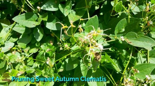 Pruning Sweet Autumn Clematis – When & Why?