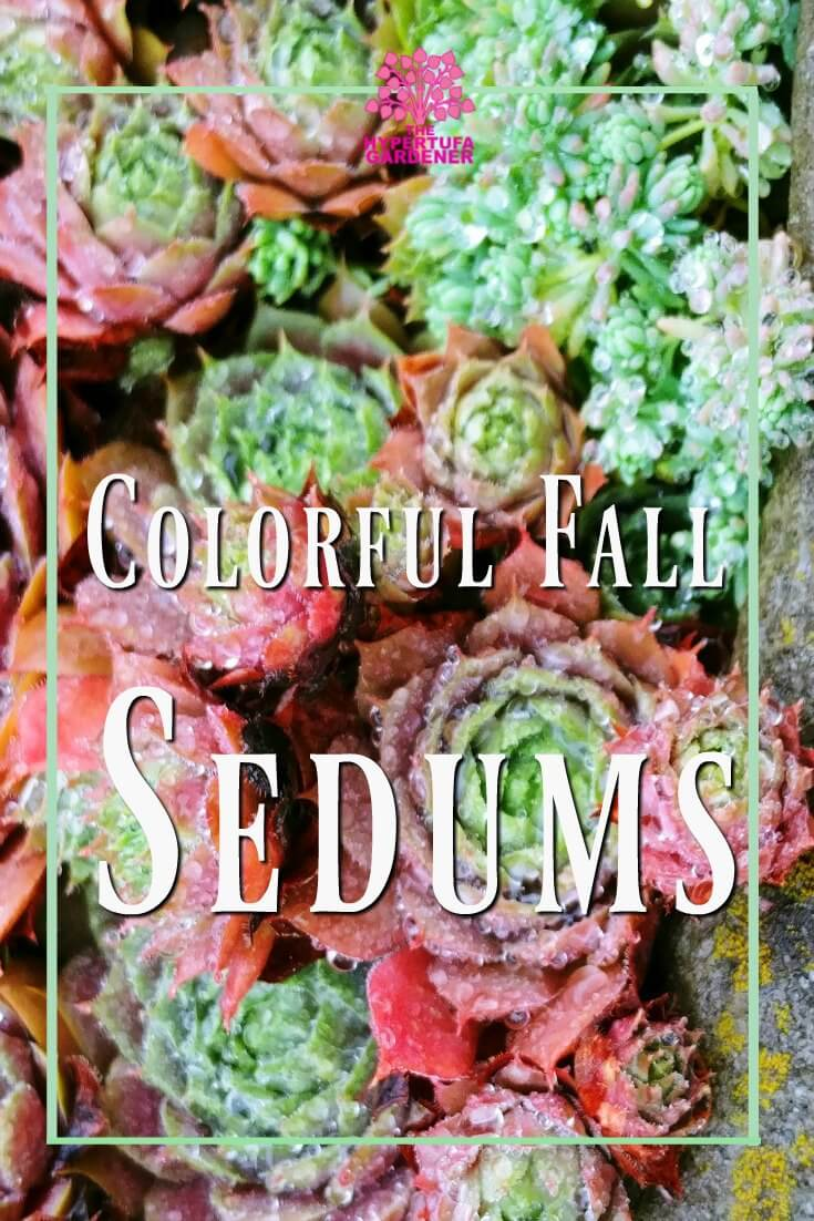 Colorful Sedums in Fall