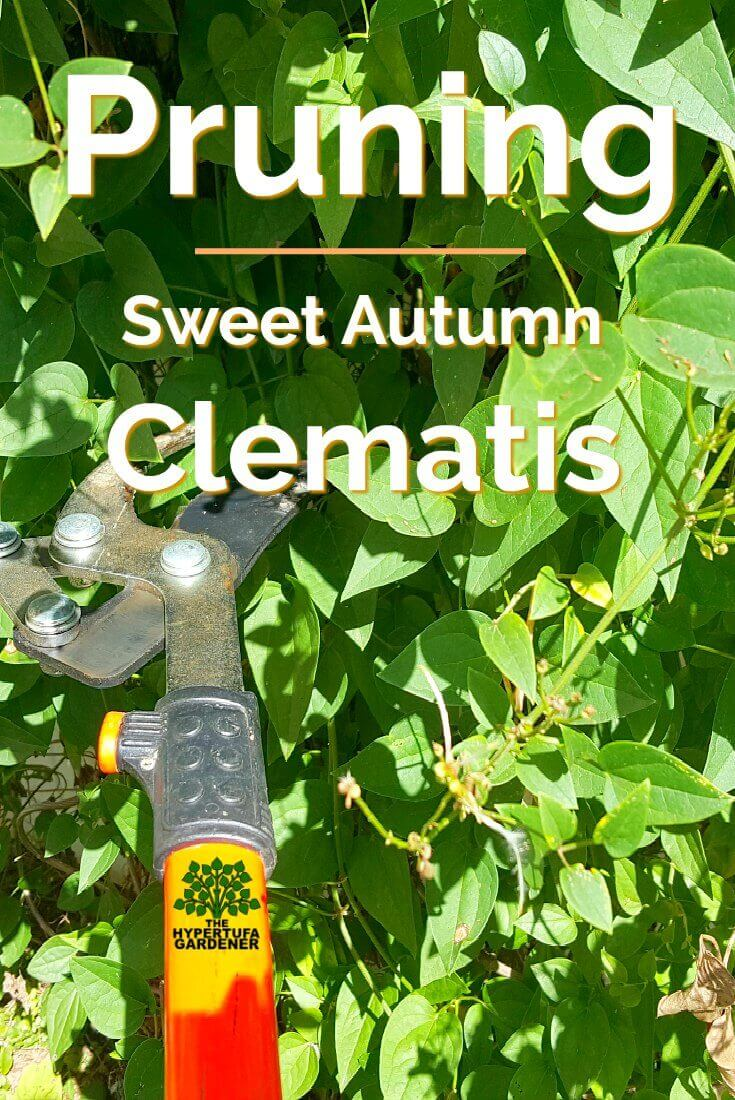 Image of Pruners in Sweet Autumn clematis
