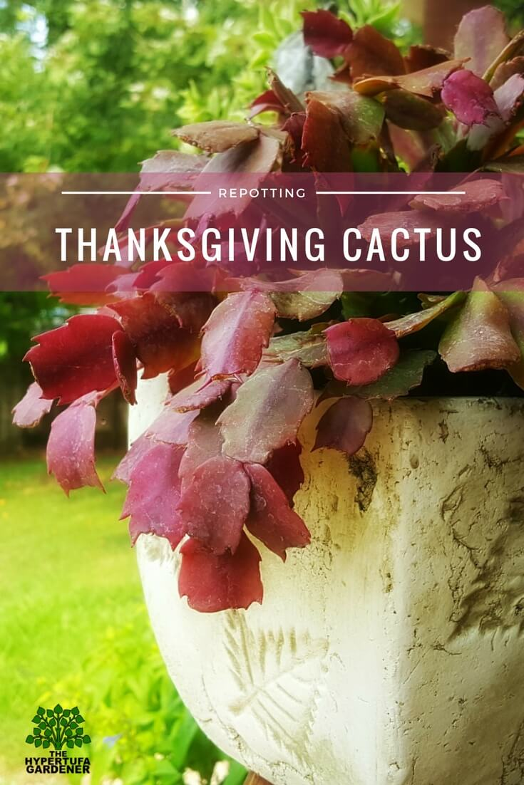Re-potting my Thanksgiving Cactus