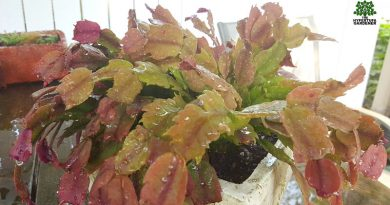 Time for re-potting my Thanksgiving Cactus even if it is not the best time