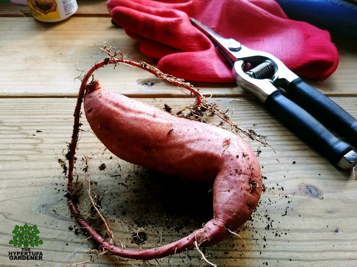 My Sweet Potato Vine Tuber