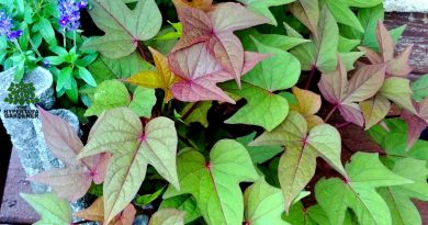 My Sweet Potato Vine multi-color