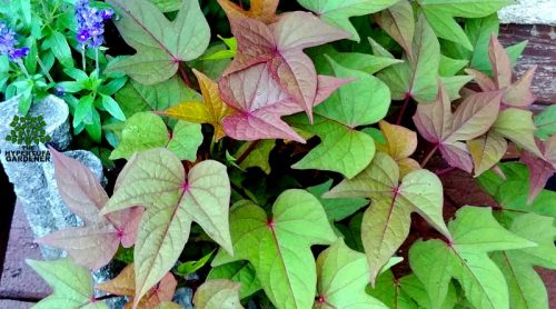 Sweet Potato Vine – I'm Saving The Tuber