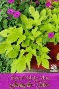 Sweet Potato Vine - Saving The Tuber