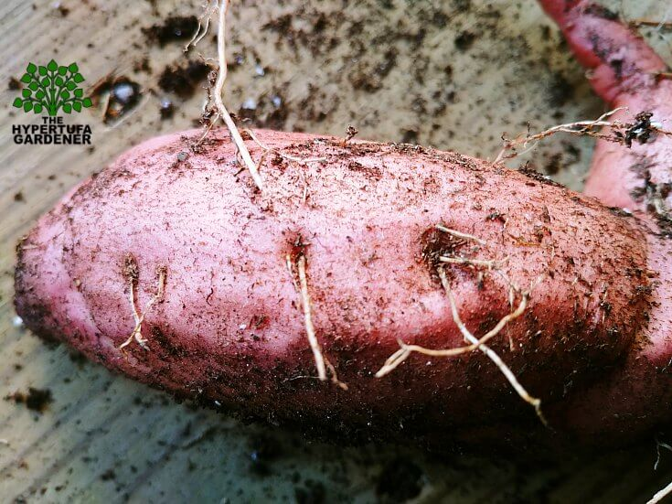 The Eyes of the Sweet Potato Vine Tuber