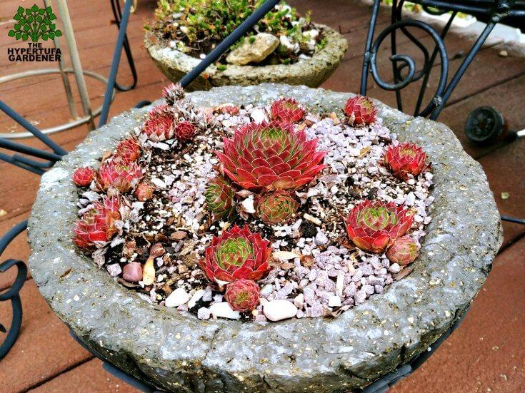 Wintering Hypertufa - These plants stay outside all winter in their hypertufa planters
