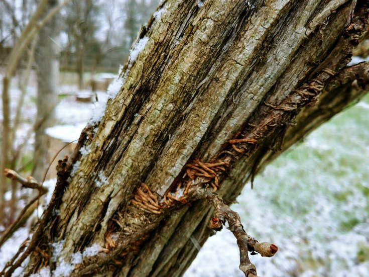 Hold tight Virginia creeper - Let it snow