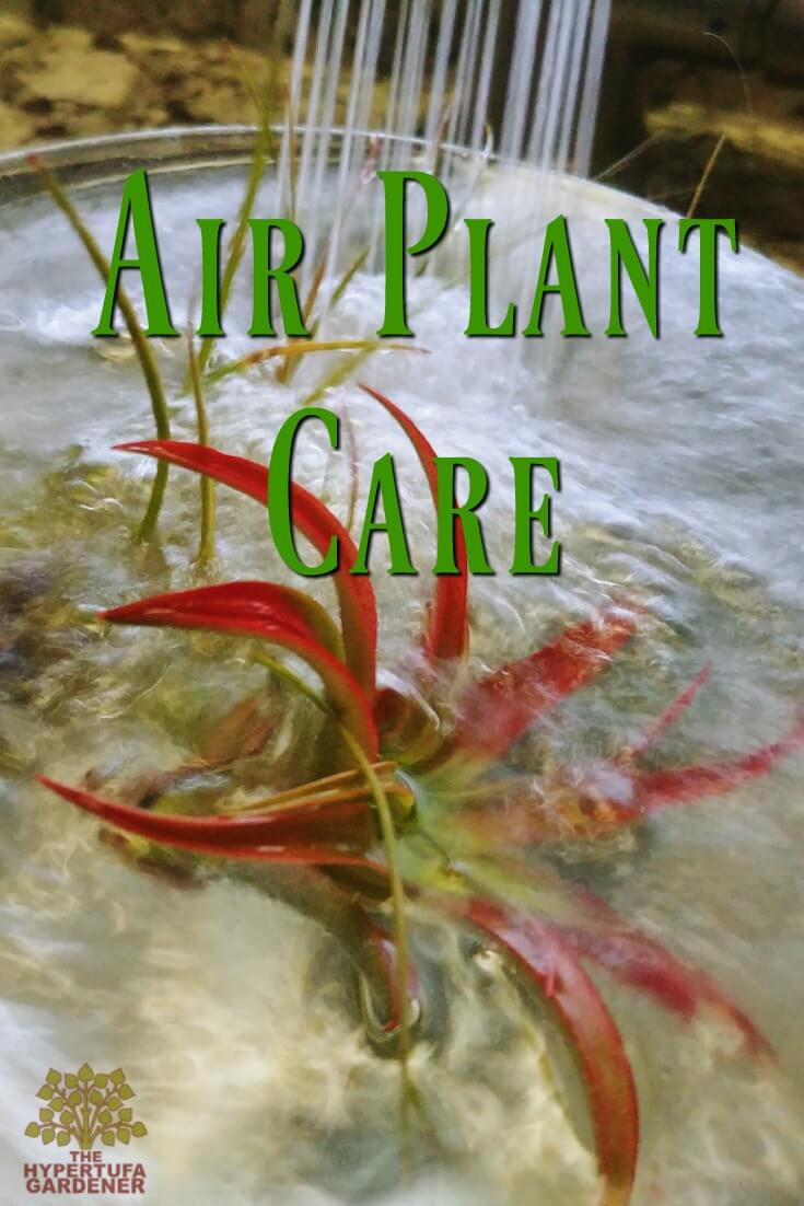 Air Plant Care - It's So Easy