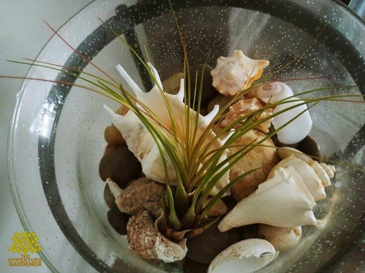 Air Plant Care - Lying in a bed of sea shells