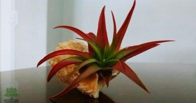 Enjoying Air Plants – Air Plant Care