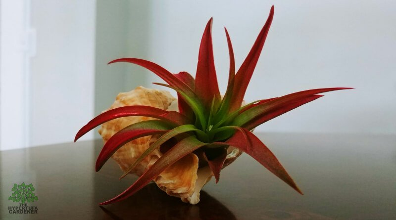 Enjoying Air Plants – Air Plant Care