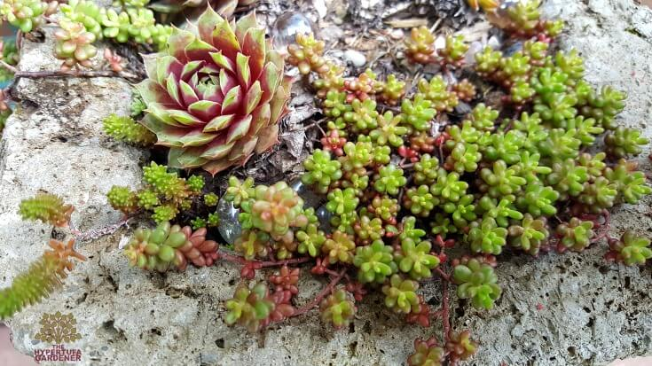 Beauty without words - Coral reef and sempervivum