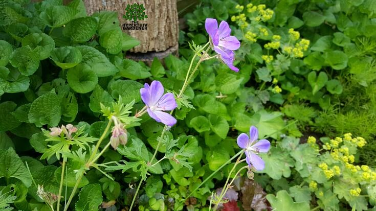 Beauty without words - Johnson's blue hardy geranium