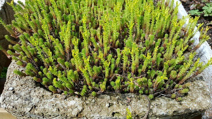 Beauty without words - sedum sexangulare ready to bloom