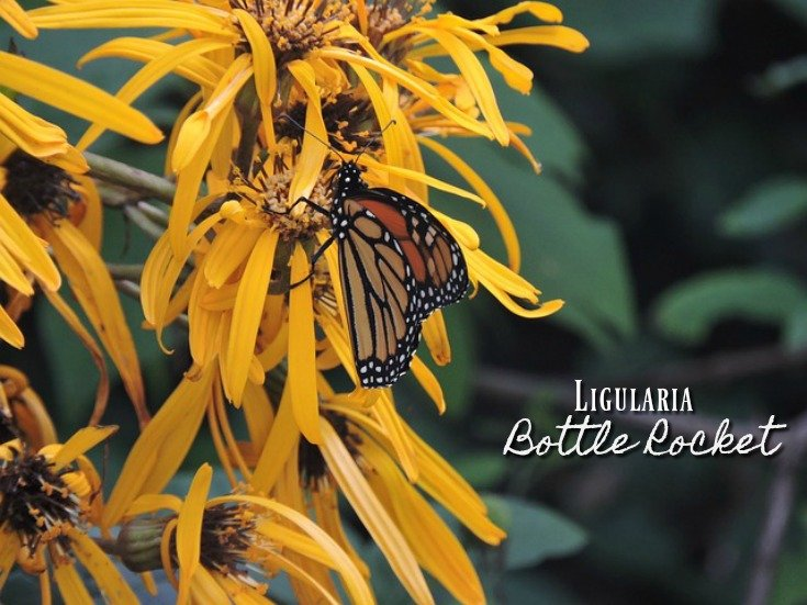 Ligularia Bottle Rocket - Good for Moist Soil