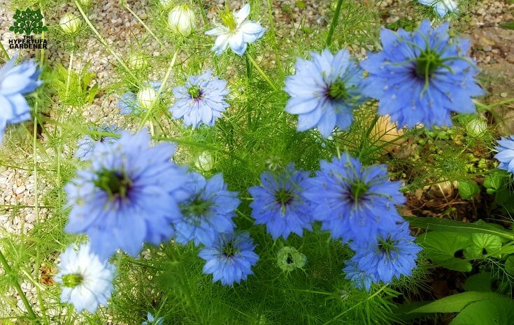 Love in a Mist - Beauty Without Words