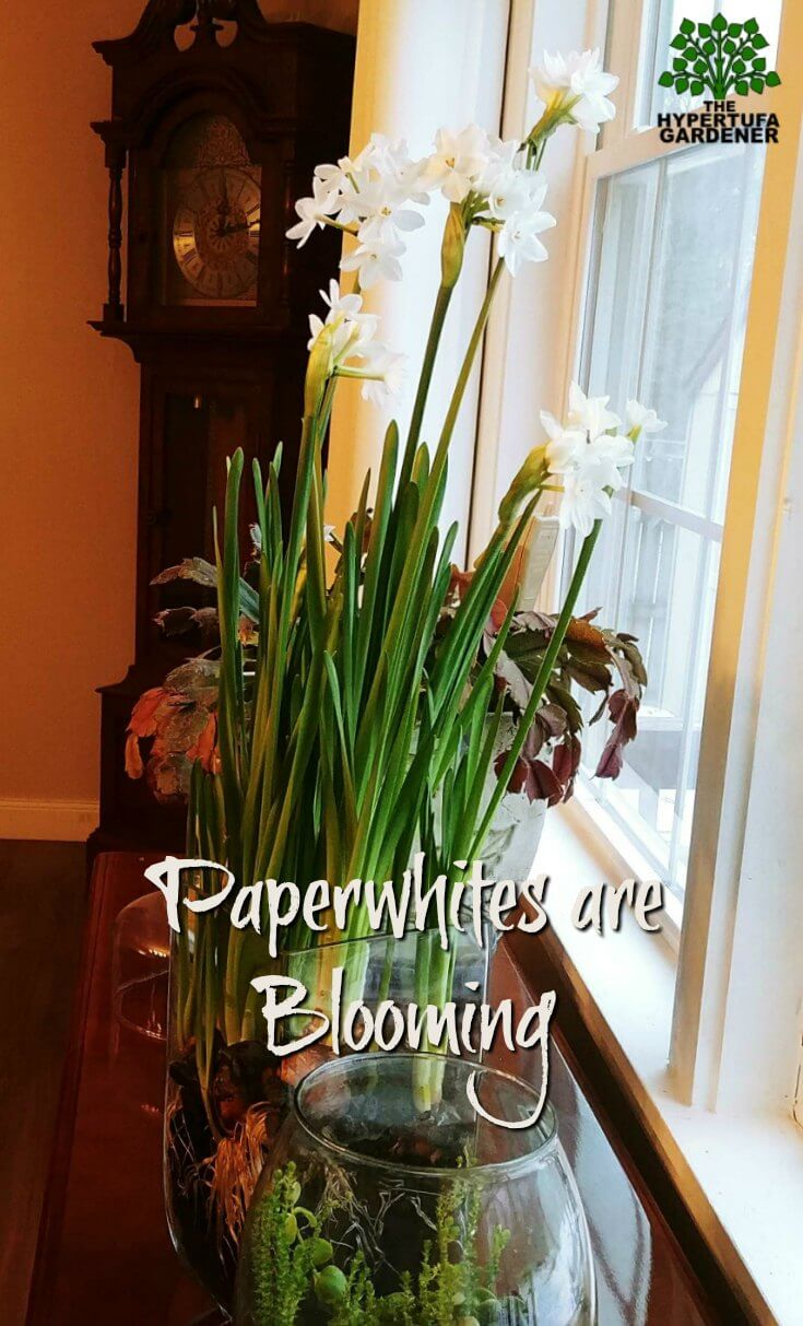 Paperwhites are blooming - Spring coming soon
