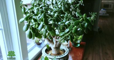 It was hard to move this Large Jade plant