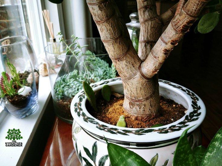 Large stem of the Jade Plant