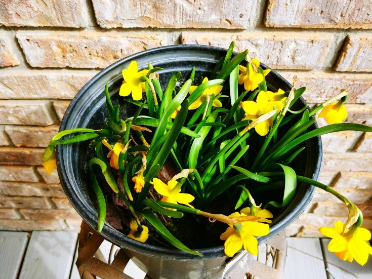 Daffodils waiting to be planted