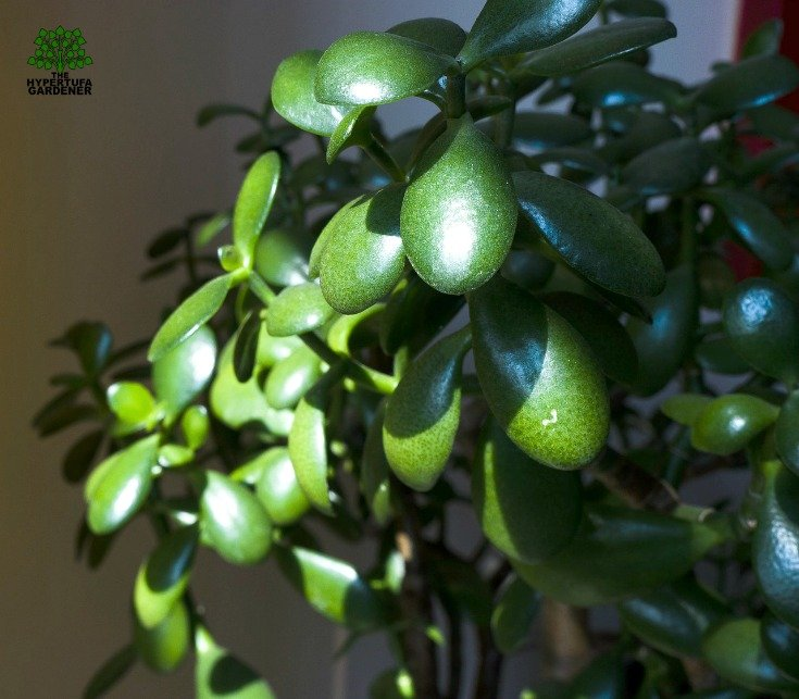 Jade Tree Care