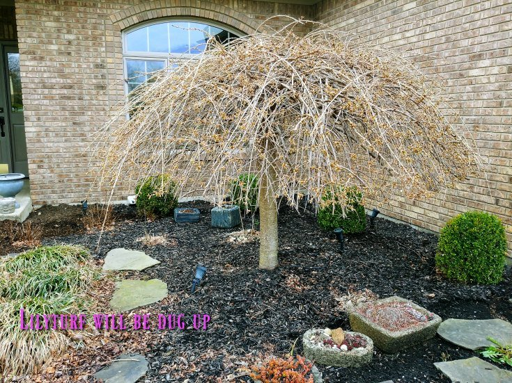 Shrubs and Trees Identification - Weeping what
