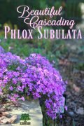 Beautiful Cascading Phlox subulata - Creeping Phlox in springtime