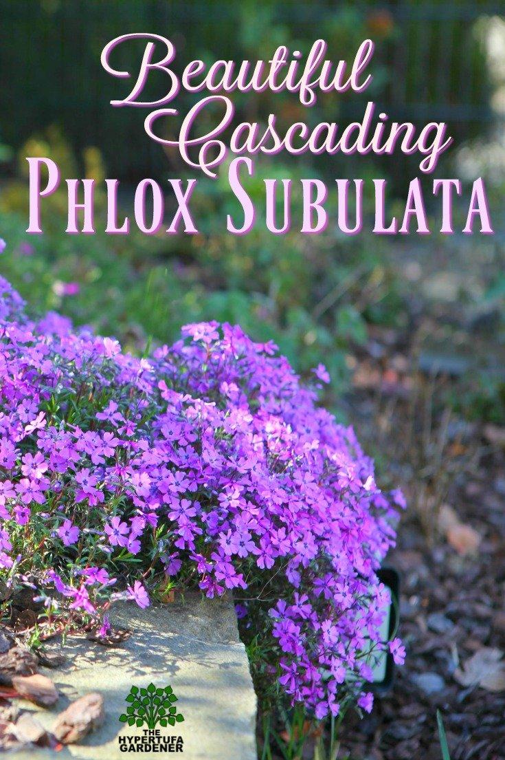 Beautiful Cascading Phlox subulata - Creeping Phlox in springtime