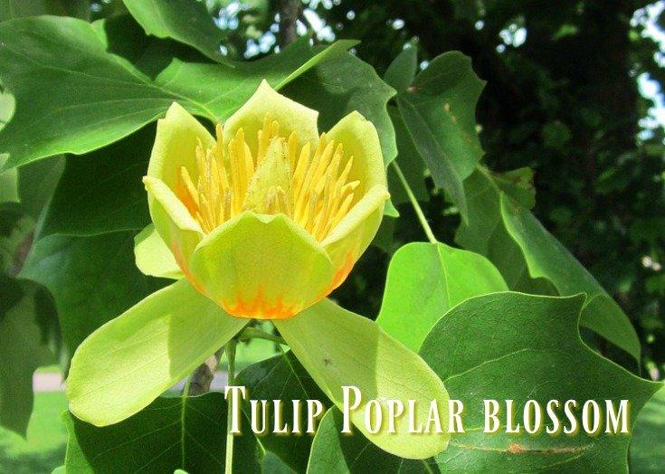 Blossom from a tulip poplar