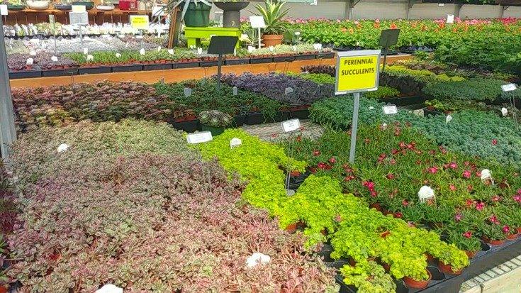 Buying succulents for succulent arrangements