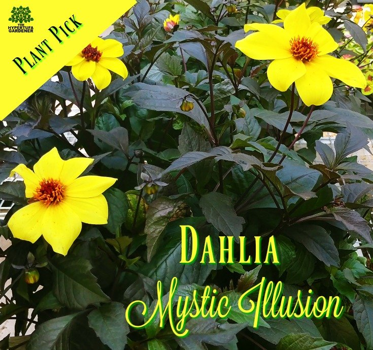 Dahlia - One of my favorites Mystic Illusion