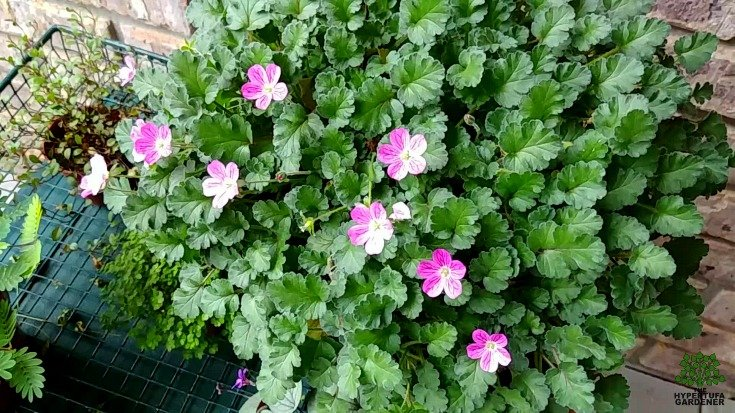 Fairy Garden Pictures - Erodium