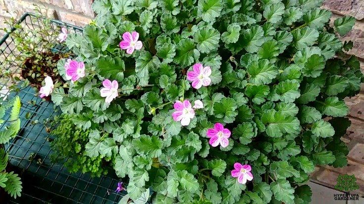 Fairy Garden Pictures - Erodium