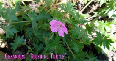 "Geranium ""blushing turtle"" This is a hardy geranium which can bloom all summer until frost if I keep it deadheaded."