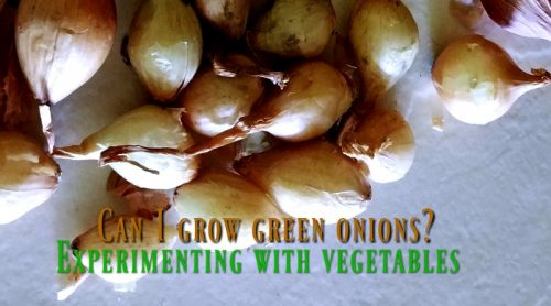 How To Grow Green Onions – Learning It Myself