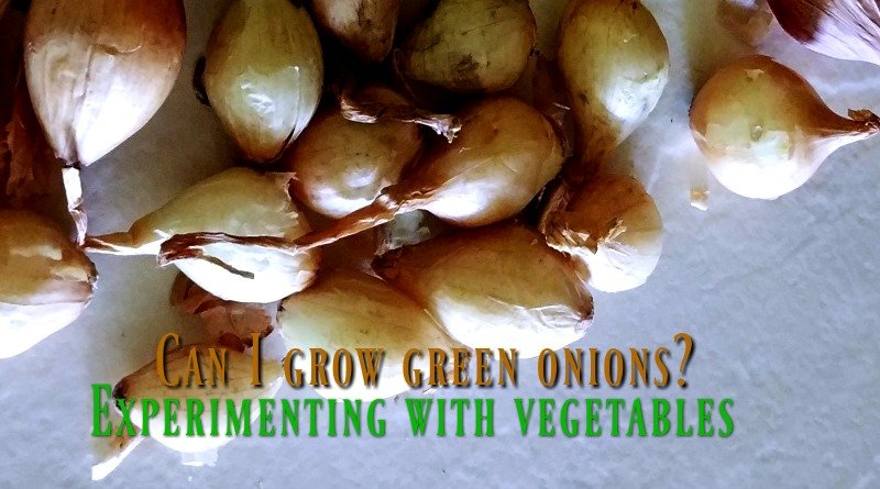 How to grow green onions - Experimenting with vegetables