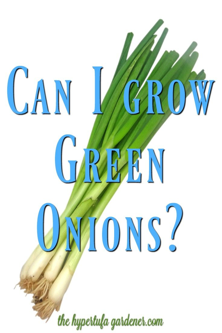 How to grow green onions - I will try my best