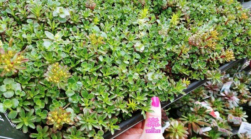 Sedum Sod – Instant Full & Lush Planted Hypertufa Pot
