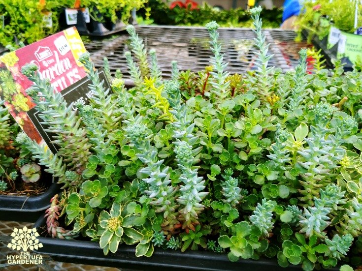 Sedum Sod - Great Way to plant quickly!