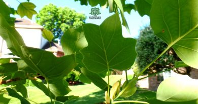 Tulip poplar leaves, shaped like a tulip
